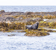 Seals basking Stock Photo
