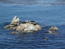 Seals in the Bay. Monterey Bay, California coastline is dotted with rock outcroppings where marine life hangs out to sun Stock Image