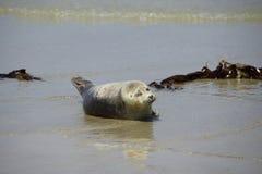 Seals at the Beach Royalty Free Stock Photo