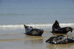 Seals at the Beach Royalty Free Stock Photo