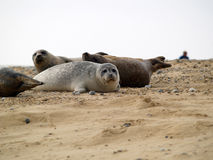 Seals in a beach Royalty Free Stock Photos