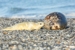 Seals on the beach in dune island near helgoland Royalty Free Stock Images