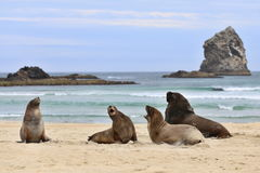 Seals on the beach. Four seals playing on the beach in New Zealand Royalty Free Stock Images