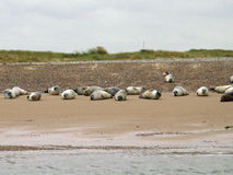 Seals on a beach Stock Photography