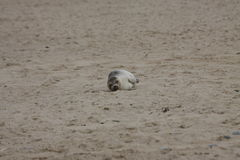 Seals on the beach Stock Photography