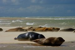 Seals on a beach. A group of Grey Seals at Blakeney Point in North Norfolk on a windy day Stock Photo