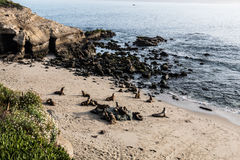 Seals on the Beach at La Jolla Cove Stock Photography
