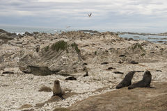 Seals on a beach New Zealand Royalty Free Stock Photography