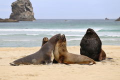 Seals on the beach. 4 seals playing on the beach in New Zealand Royalty Free Stock Photography