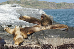 Seals, Beagle Channel, Argentina Royalty Free Stock Photography
