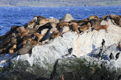 Seals in Beagle Channel, Ushuaia, Argentina Stock Images