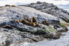Seals, Beagle Channel, Ushuaia, Argentina. Seals resting, Beagle Channel, Ushuaia, Argentina royalty free stock image