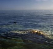 Seals beisde rocks Royalty Free Stock Images