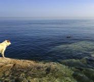 Seals beisde rocks Royalty Free Stock Image