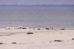 Seals and birds each on North Frisian island of Amrum Royalty Free Stock Photo