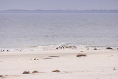 Seals and birds each on North Frisian island of Amrum Stock Image