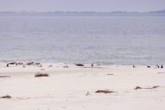 Seals and birds each on North Frisian island of Amrum Stock Photo