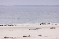 Seals and birds each on North Frisian island of Amrum Royalty Free Stock Image