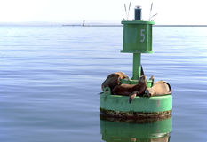 Seals On A Buoy. Seals sunning themselves on a buoy in the harbor Stock Photo