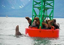 Seals on buoy in Alaska Stock Photography