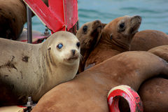 Seals on buoy. Seals resting on a buoy in southern California near San Diego Royalty Free Stock Photography