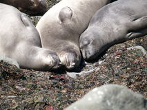 Seals, California Coast Royalty Free Stock Photo