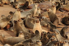 Seals at Cape Cross. Seal colony at Cape Cross in namibia, africa Royalty Free Stock Images