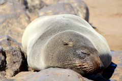 Seals at Cape Cross, Atlantic Ocean coast. Colony of seals at Cape Cross Reserve, Atlantic Ocean coast in Namibia Stock Image