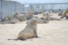 Seals at Cape Cross. Namibia royalty free stock image