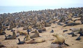 Seals at Cape Cross. Namibia royalty free stock photo