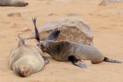 Seals at cape cross. Namibia royalty free stock photos