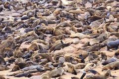 Seals at cape cross. Namibia stock photos