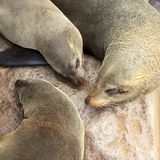 Seals at cape cross. Namibia stock images