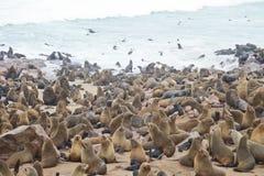 Seals at Cape Cross. Namibia stock image