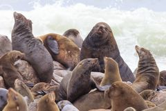 Seals at cape cross. Namibia stock photography