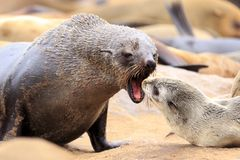 Seals at cape cross. Namibia royalty free stock photography