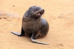 Seals at cape cross. Namibia stock photo
