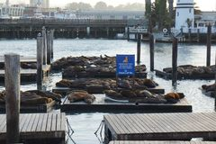 Seals chilling at docks of pier 39 royalty free stock photo