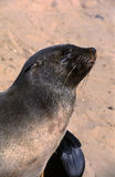 Seals close-up Stock Images