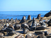 Seals!. Closeup of seals sunning themselves near Hout Bay, Cape Town, South Africa Stock Image