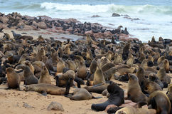 Seals colony Royalty Free Stock Photography