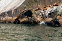 Seals colony Royalty Free Stock Image