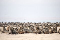 A seals colony at Pelican Point Royalty Free Stock Photography