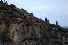 Seals and cormorants rest on a rock near the ocean. The gray rock divides the frame obliquely. Black cormorants and brown seals stand and lie on the rock. The Stock Photography