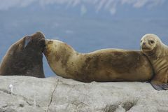 Seals cuddling on a rock in the south of argentina stock images