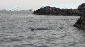 Seals divea in water ocean of Antarctica. stock video footage