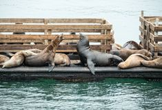 Seals on the dock. Seals interacting on the dock Stock Photography