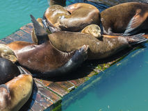Seals on the dock Stock Images