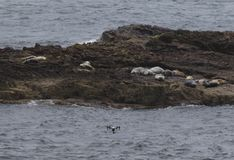 Seals and drone!. This is a picture of some seals on a rock in the sea, off the coast in Northern Scotland. There is a remotely controlled aerial vehicle in the Stock Image