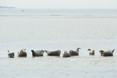 Seals in the Dutch wadden sea Stock Photography